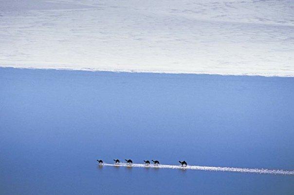 Six dromadaires qui traversent un désert inondé, le Parc national du lac Gairdner. <br>Jean-Paul Ferrero/Auscape/Bios